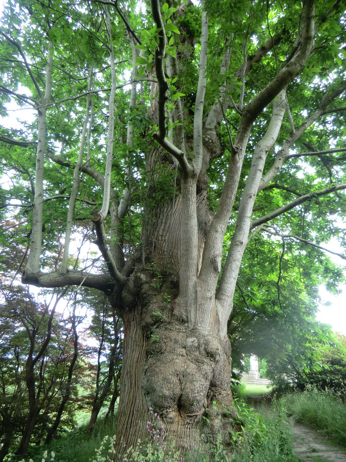 CIMG4538 Ancient sweet chestnut, Pleasure Gardens