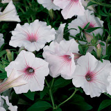 supertunia silverberry.jpg