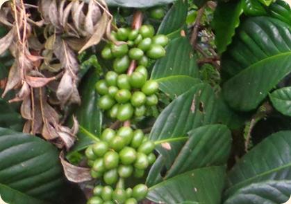 100% Natural Green Coffee Bean
