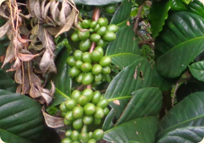 100% Natural Green Coffee Bean - Beverages