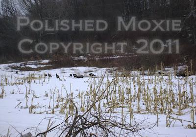 Picture of wild turkeys in a snowy cornfield