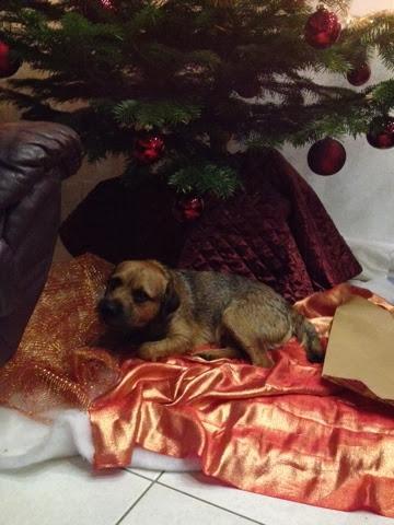 Border Terrier Charly unter dem Weihnachtsbaum
