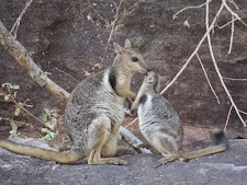 Female rock Wallaby with young. She already has a younger one in the pouch but the older juvenile still stays with her until the next wet season.