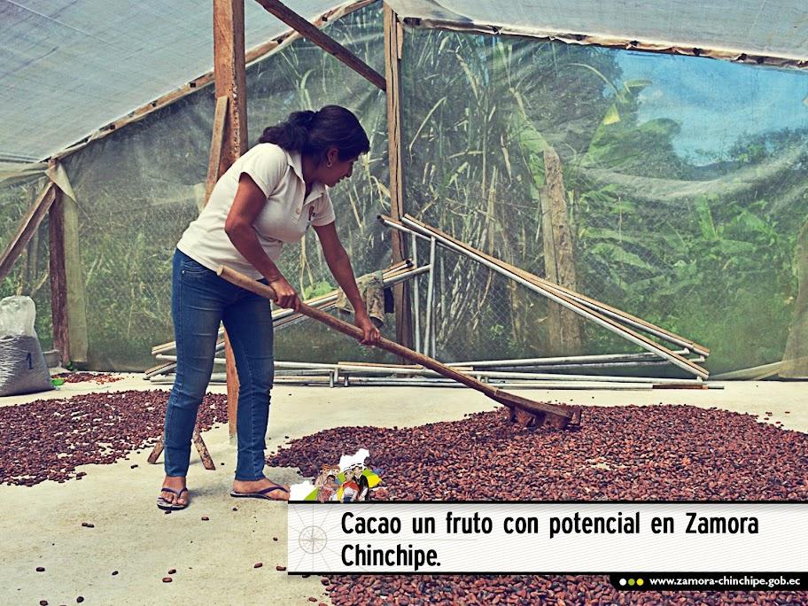 CACAO UN FRUTO CON POTENCIAL EN ZAMORA CHINCHIPE