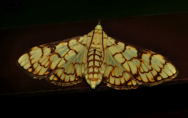Crambidae : Pyraustinae : Aphytoceros lucusalis WALKER, 1859. Umina Beach (N. S. W.), 15 novembre 2011. Photo : Barbara Kedzierski