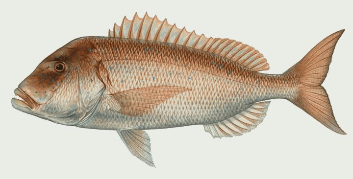 sinarit fish