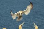 VENTILO Le fou de bassan qui n'atterrira pas sur son nid sera vite repoussé à coups de bec par le propriétaire en question !