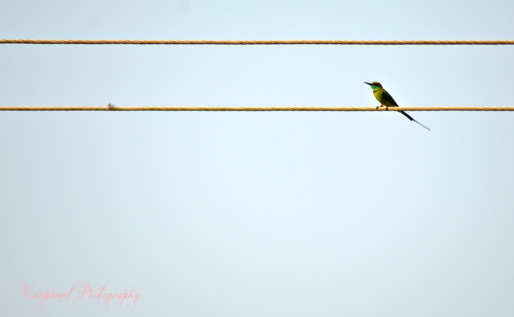 Green bee eater by Sudipto Sarkar on Visioplanet