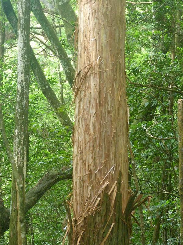 Probablement des écureuils qui ont lacéré cet arbre