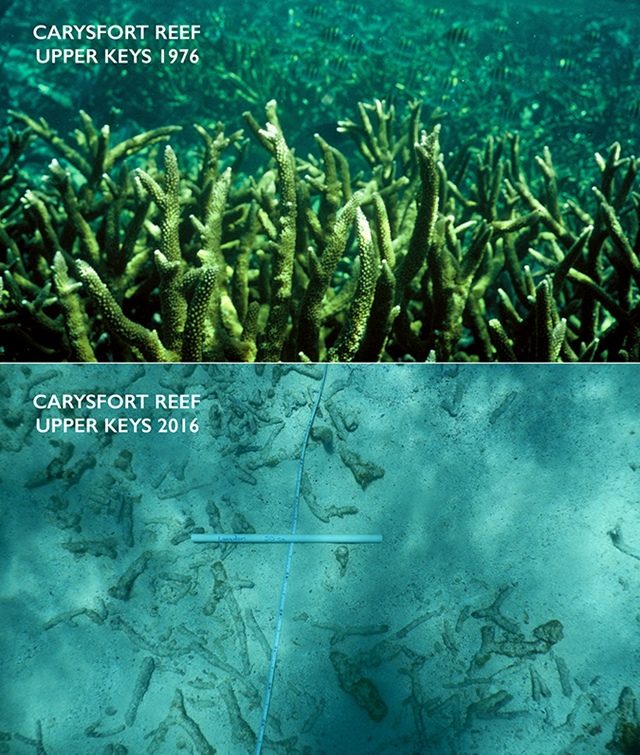 Staghorn corals at Carysfort Reef in 1976 (above) and 2016 (below). The extensive thickets of staghorn corals are gone today replaced by a structureless bottom littered with the decaying skeletons of staghorn coral. Photo: Chris Langdon, Ph.D.
