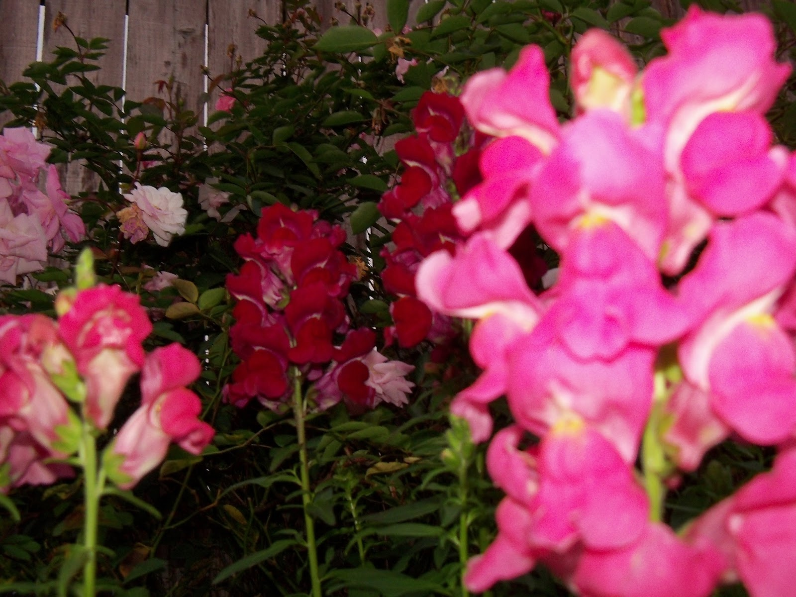 Gardening 2012 - 115_1260.JPG