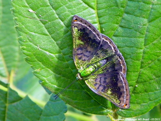 Riodinidae : Riodinini : Caria marsyas GODMAN, 1903. Pitangui (MG, Brésil), 4 mai 2011. Photo : Nicodemos Rosa