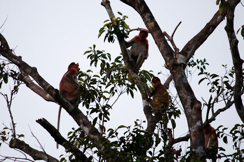 Mono narigudo chillando