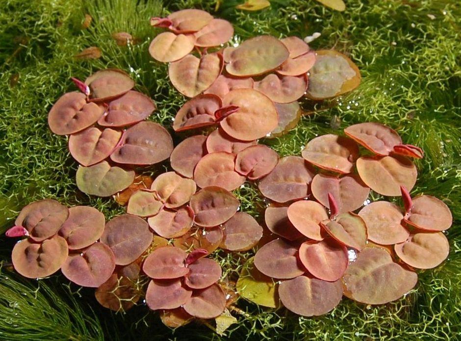 Филлантус плавающий (Phyllanthus fluitans)