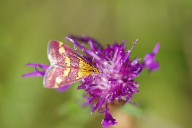 Crambidae : Pyraustinae : Pyrausta purpuralis (L., 1758). Les Hautes-Lisières (Rouvres, 28), 28 août 2012. Photo : J.-M. Gayman