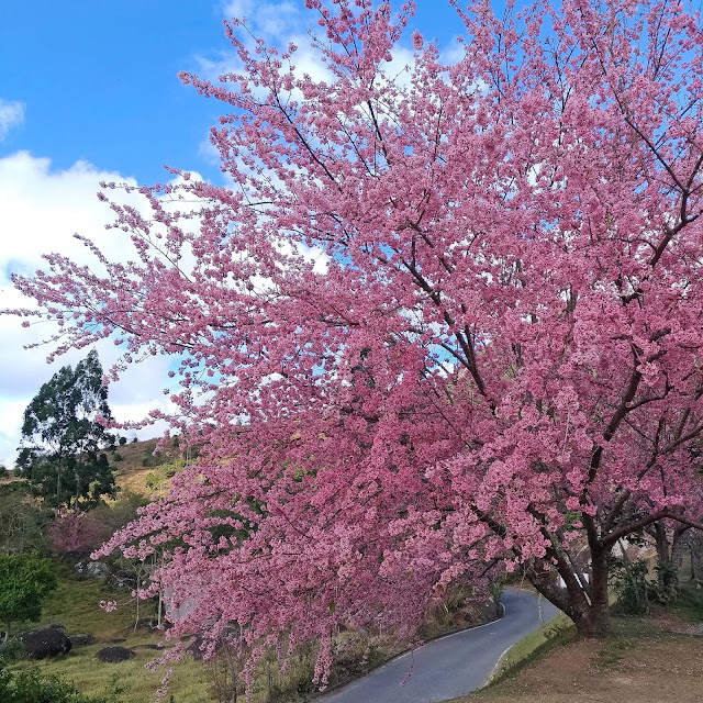 Cerejeiras em Pedra Azul, ES.