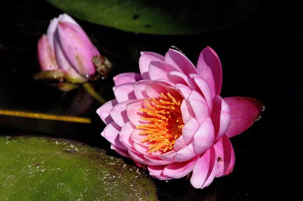 Bellezza in rosa di Cary