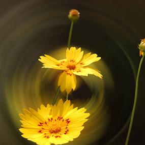 by Laxmikant Shah - Flowers Single Flower (  )