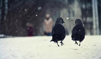 Две вороны идут по снегу и будто разговаривают