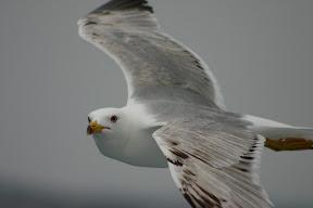 Seagull in flight, Saronic Gulf