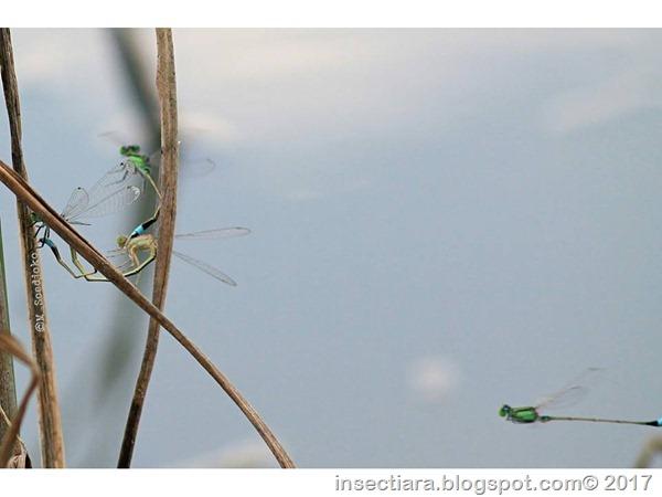 Ischnura senegalensis 8