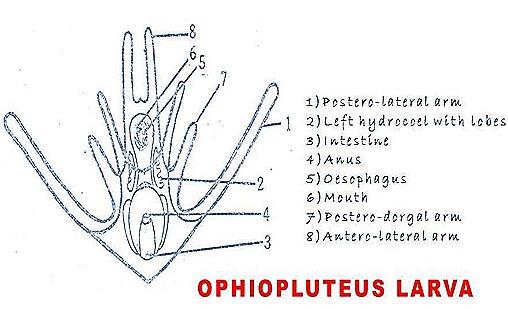 Ophiopluteus larva