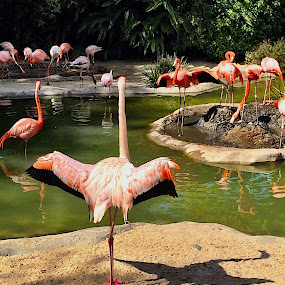 The Flamingo's Shadow by Charline Ratcliff - Animals Birds ( animals, shadow, flamingo, pink, flamingos, birds,  )