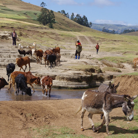 Donkeys are used to transport goods, and they drink in water sources like this - leading to problems with water contamination