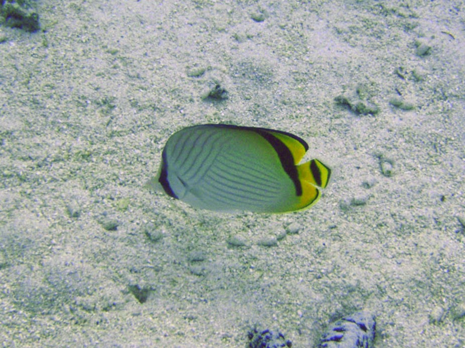 Chaetodon vagabundus (Vagabond Butterflyfish), Aitutaki.