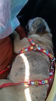 A mopszok mentvénye: Janka, az angol bulldog
