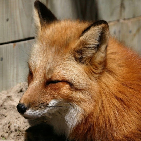 foxx max