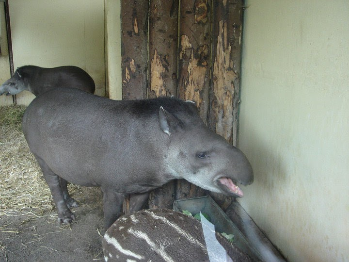 Mom and baby tapir, Mary Beaird