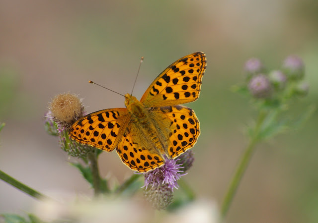 Issoria lathonia LINNAEUS, 1758, mâle. Les Hautes-Lisières, 29 juillet 2010. Photo : Jean-Marc Gayman