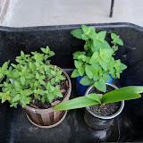 Gardening 2011 - 100_8250.JPG