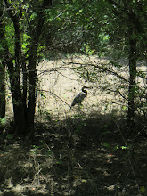 Photo: Great Blue Heron was eyeing the snakes before I showed up.