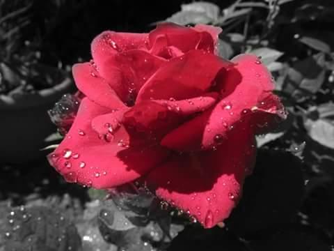 Rosa rossa. di ClaudiaBaciu25