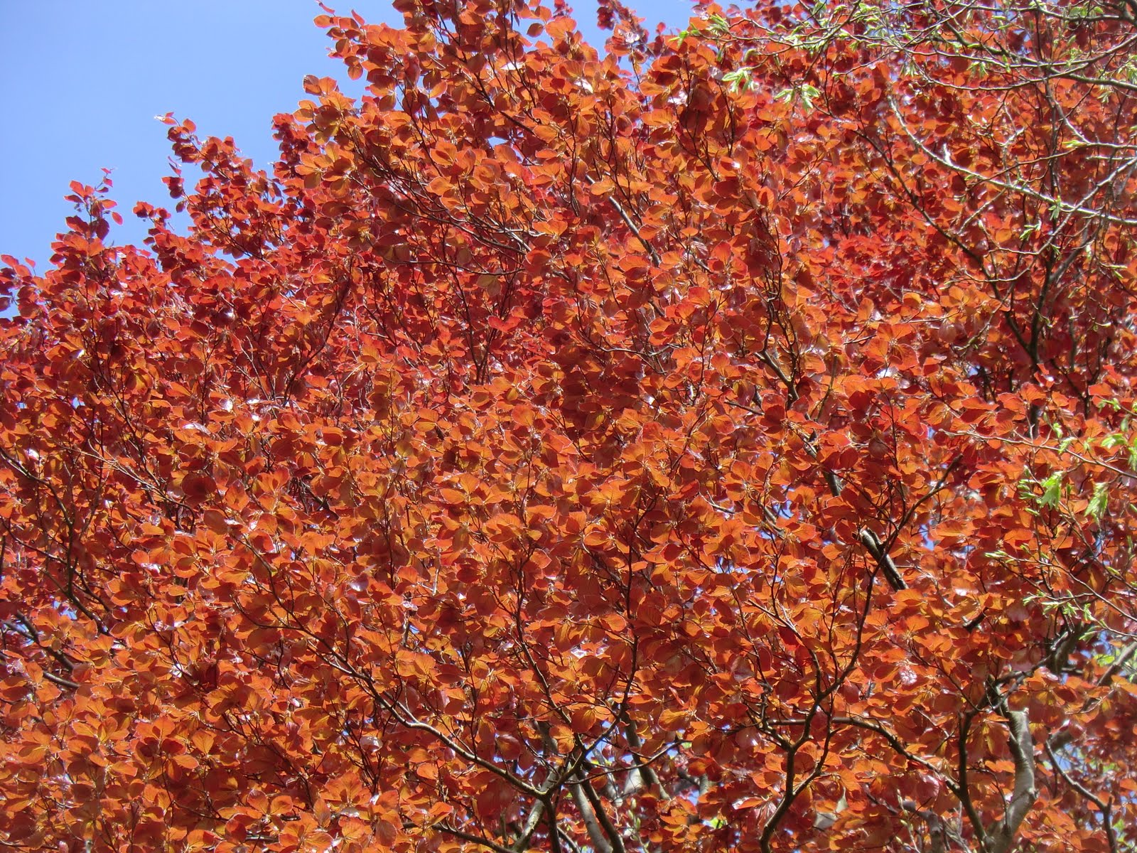 CIMG4210 Copper beech leaves, Selsdon Wood