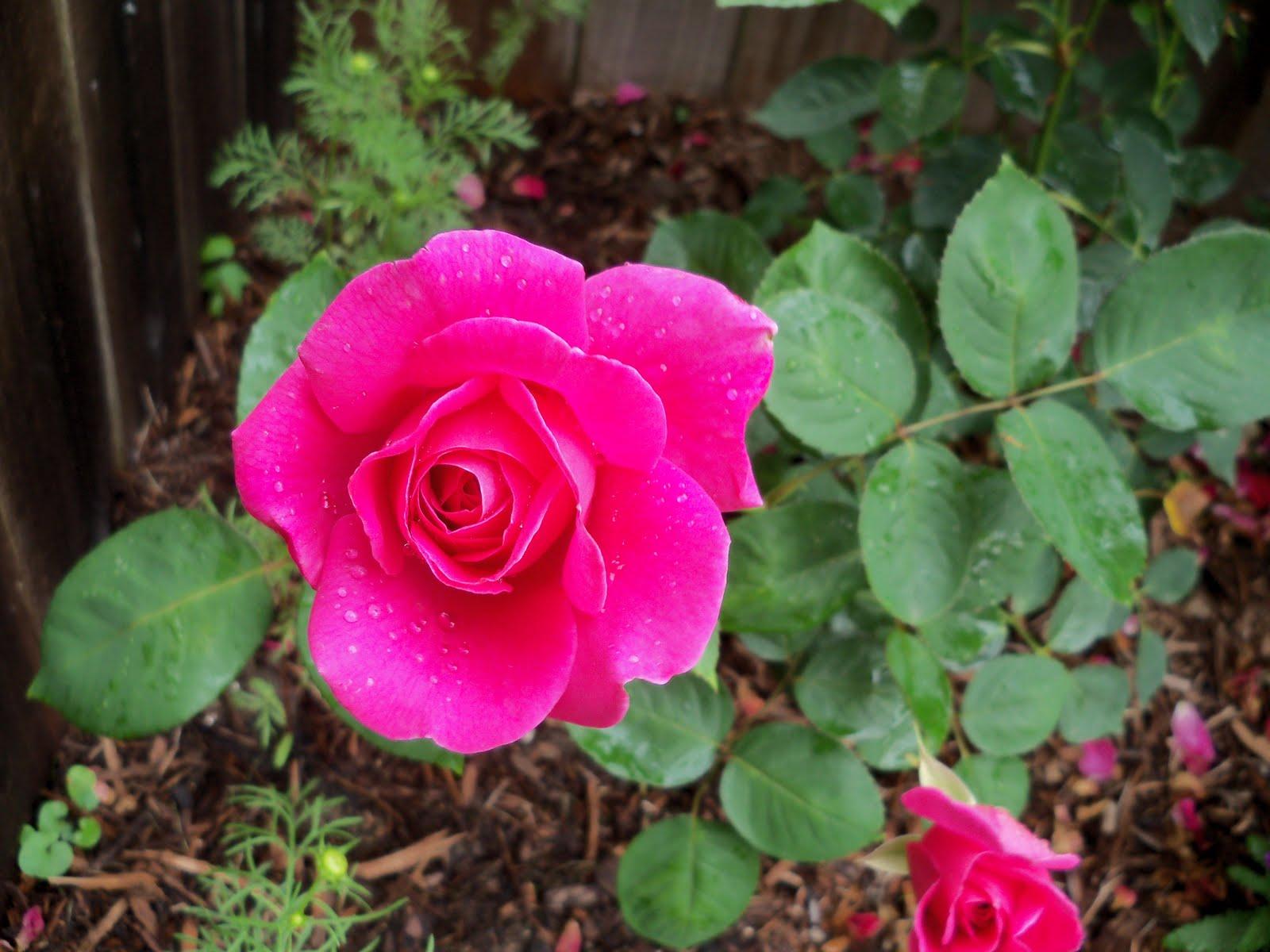 Gardening 2010 - 101_1560.JPG