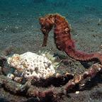 Seahorse (Lembeh Strait)