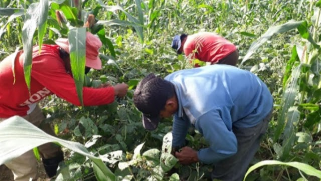Inovasi Tumpangsari Perkuat Program Food Estate