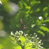Parides butinant les fleurs dans la canopée (5 ou 6 exemplaires présents sur le même arbre à 7 mètres au-dessus du sol). Fazenda d'Arariba (Ubatuba, SP), 22 février 2011. Photo : J.-M. Gayman
