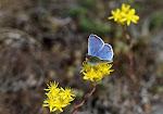 Hvidrandet blåfugl, dorylas5.jpg