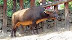 Viđe govedine