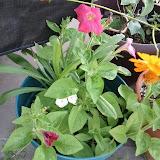 Gardening 2012 - IMG_20120520_174055.jpg