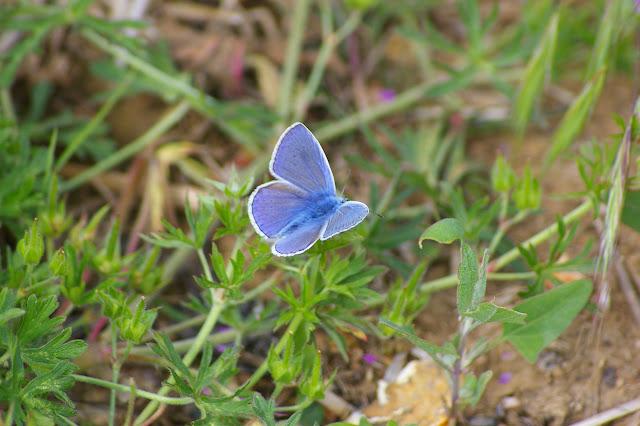 Polyommatus icarus ROTTEMBURG, 1775, mâle, recto. Hautes-Lisières (Rouvres, 28), 2 juin 2010. Photo : J.M. Gayman