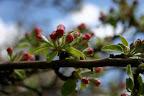 Grandmother Apple Tree blossoms.