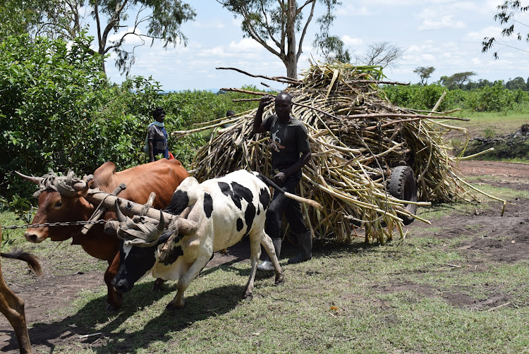 A small scale sugarcane farmer in Ramoya village, Kanyamwa transports produce to Sukari Industries Ltd in Ndhiwa constituency on march23, 2021