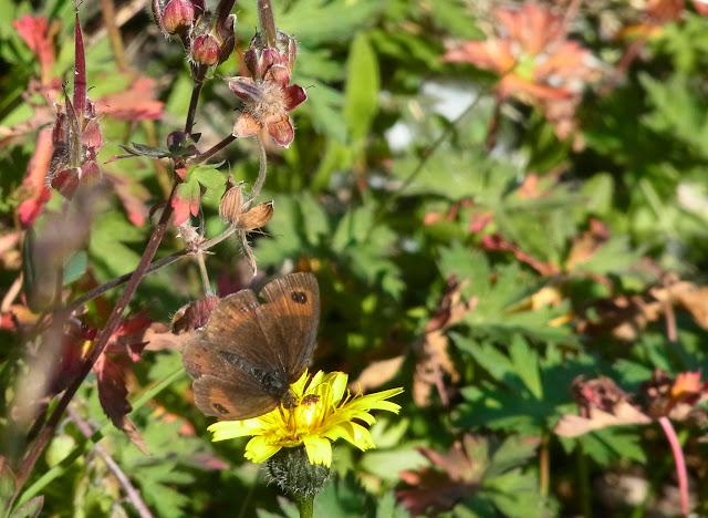 Erebia graucasica Jachontov, 1909, endémique. Cheget (Terskol), 2750 m (Kabardino-Balkarie), 12 août 2014. Photo : J. Michel
