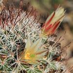 Fishhook Cactus - кактус рыболовный крючок