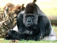 κοίταγμα γορίλα,όψη γορίλα,γορίλας κάθεται,gorillas look,gorilla sitting